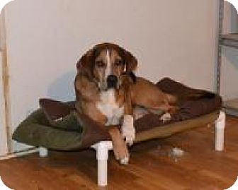 Hound (Unknown Type) Mix Dog for adoption in Bakersville, North Carolina - Lou