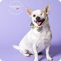 Adopt A Pet :: Iggy - Apache Junction, AZ