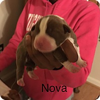 Adopt A Pet :: Nova - Fredericksburg, VA