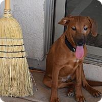 Adopt A Pet :: VICKYSUE - Higley, AZ