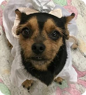 Terrier (Unknown Type, Medium) Mix Dog for adoption in Lancaster, California - Chip