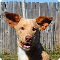 Adopt A Pet :: **SHEBA** MEET DEC 17TH! - Mukwonago, WI