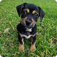 Adopt A Pet :: Dodge - Houston, TX