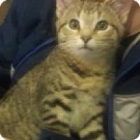 Adopt A Pet :: Snowflake - McHenry, IL