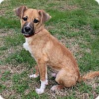 Sheltie, Shetland Sheepdog/Shepherd (Unknown Type) Mix Puppy for adoption in Washington, D.C. - PUPPY CASPIAN
