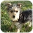Photo 1 - Yorkie, Yorkshire Terrier Mix Puppy for adoption in West Palm Beach, Florida - Skyler
