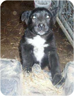 Australian Cattle Dog/Labrador Retriever Mix Puppy for adoption in Glenpool, Oklahoma - Max