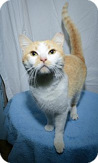 Domestic Shorthair Cat for adoption in New York, New York - Archie