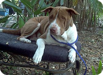 Shar Pei Mix Dog for adoption in hollywood, Florida - sunshine