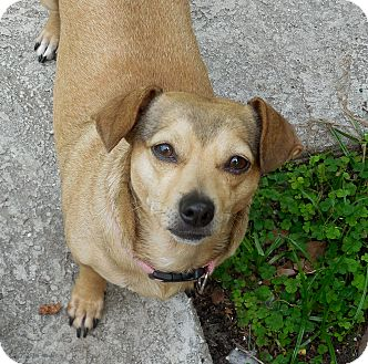Chihuahua/Dachshund Mix Dog for adoption in Ormond Beach, Florida - Molly