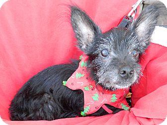 Scottie, Scottish Terrier Mix Dog for adoption in Umatilla, Florida - Mark