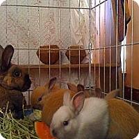 Adopt A Pet :: ~Baby Bunnnies~ - El Cerrito, CA