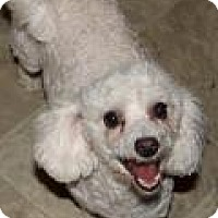 Bichon Frise Dog for adoption in Memphis, Tennessee - Runtie