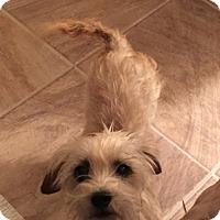 Adopt A Pet :: Cupcake - Beavercreek, OH