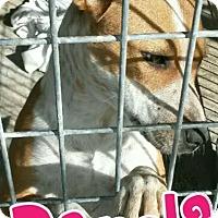 Blue Heeler Mix Dog for adoption in Odessa, Texas - Panola