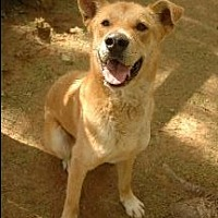 German Shepherd Dog/Labrador Retriever Mix Dog for adoption in Pt. Richmond, California - DJANGO