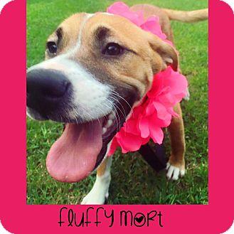 Labrador Retriever/Beagle Mix Puppy for adoption in Fayetteville, North Carolina - Fluffy Mort