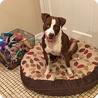 Adopt A Pet :: Remington - Greenville, SC
