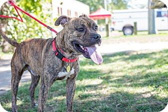 Terrier (Unknown Type, Medium)/American Bulldog Mix Dog for adoption in Fulton, Missouri - Stone- Ohio