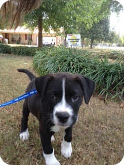 Labrador Retriever/American Pit Bull Terrier Mix Puppy for adoption in Homewood, Alabama - Champion