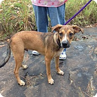Labrador Retriever Mix Puppy for adoption in Manchester, New Hampshire - Sloan