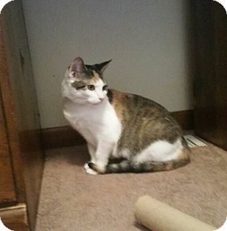 Domestic Mediumhair Cat for adoption in Highland, Indiana - Coco