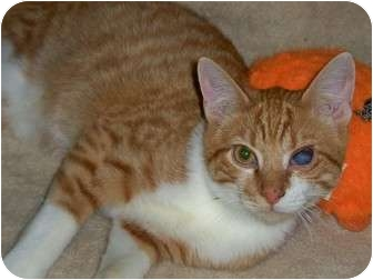 Domestic Shorthair Kitten for adoption in Secaucus, New Jersey - Chevy