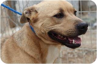 Labrador Retriever Mix Dog for adoption in Midlothian, Virginia - Duke the Lab