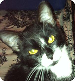 Domestic Shorthair Kitten for adoption in Harriman, NY, New York - Mittens
