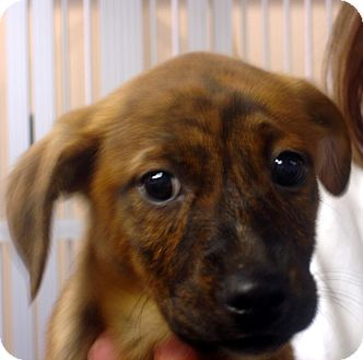 Beagle/Feist Mix Puppy for adoption in baltimore, Maryland - Melanie