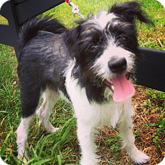 Fox Terrier (Wirehaired) Mix Dog for adoption in Waldorf, Maryland - Jerry