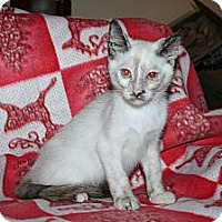 Adopt A Pet :: Syrah - Santa Rosa, CA