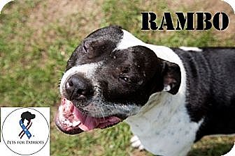 American Staffordshire Terrier/American Bulldog Mix Dog for adoption in Belleville, Michigan - Rambo