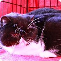 Adopt A Pet :: Clarissa - Beverly Hills, CA