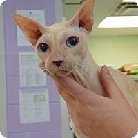 Adopt A Pet :: Sinatra - Columbus, OH