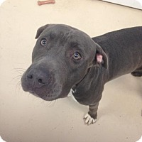 Adopt A Pet :: SWEET PEA (fbl kw) - Tampa, FL