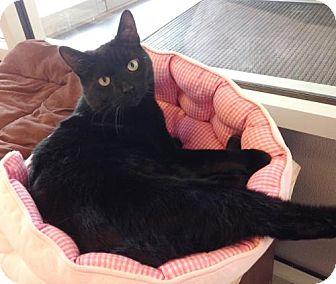Domestic Shorthair Cat for adoption in New York, New York - Earle (Manhattan)