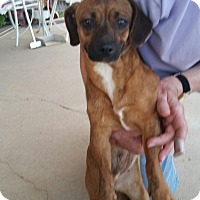 Adopt A Pet :: Honey Dew - Tucson, AZ