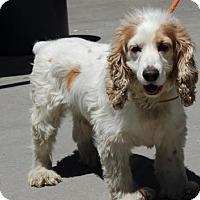 Adopt A Pet :: Coco - Brooklyn, NY