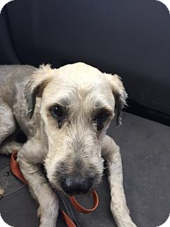 Wheaten Terrier Dog for adoption in Edmond, Oklahoma - Annie
