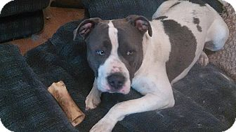 American Staffordshire Terrier Mix Puppy for adoption in Modesto, California - Brutus