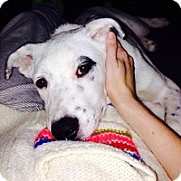Adopt A Pet :: Gus - Overland Park, KS