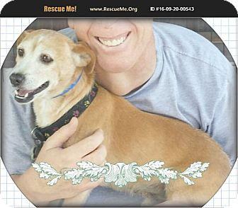 Beagle/Labrador Retriever Mix Dog for adoption in Los Angeles, California - Snoopy