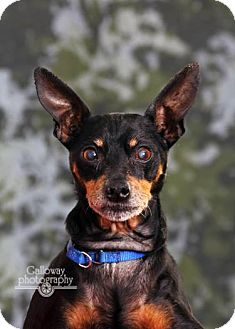 Miniature Pinscher Dog for adoption in Akron, Ohio - Chumley