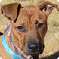 Boxer Mix Puppy for adoption in Portola, California - Daisy
