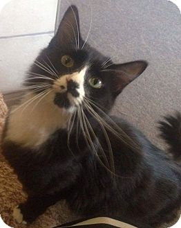 Domestic Mediumhair Cat for adoption in Buhl, Idaho - Magz