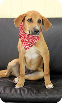 Hound (Unknown Type) Mix Puppy for adoption in Dalton, Georgia - Fancy