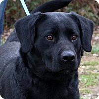 Adopt A Pet :: Velveta - Glastonbury, CT