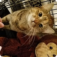 Domestic Shorthair Cat for adoption in Geneseo, Illinois - Spottedpaw