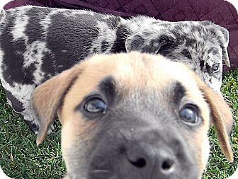 Catahoula Leopard Dog/Labrador Retriever Mix Puppy for adoption in Broomfield, Colorado - Alfalfa